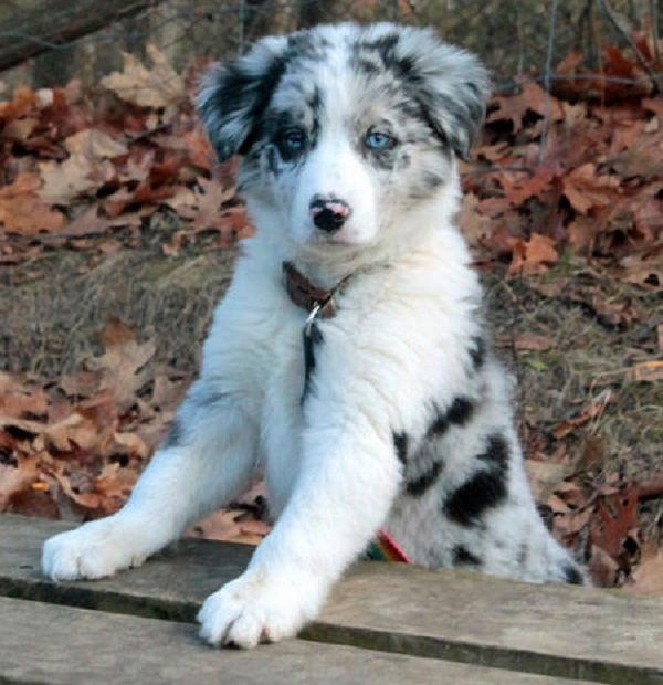 Border Collie Puppies For Sale Ontario Zoe Fans Blog Border