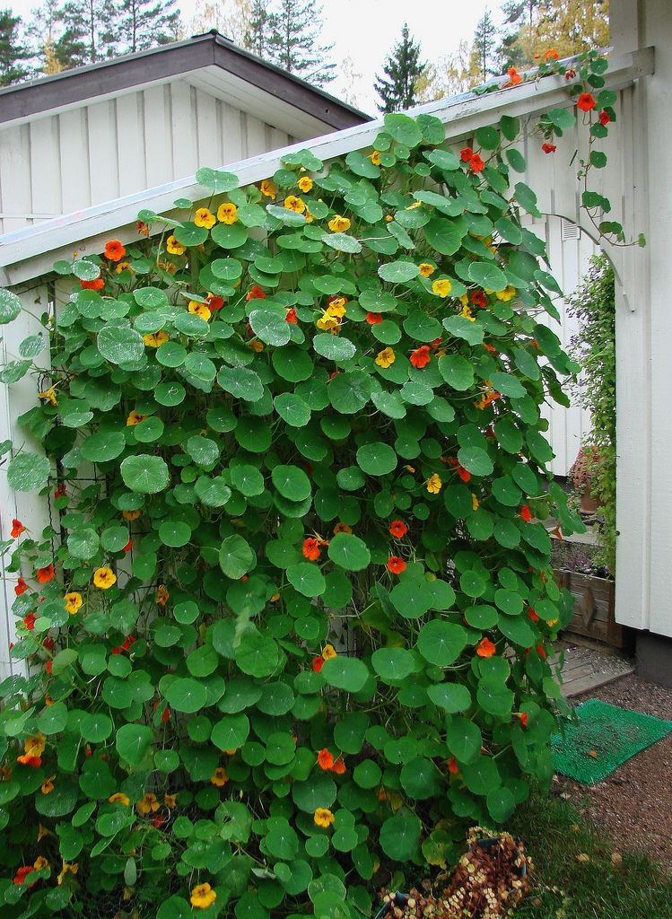Climbing nasturtium edible flowers good in salads for Climbing flowering plants for fences
