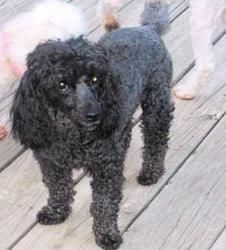 Sam is an adoptable Poodle Dog in Harvard, IL.  Sam (M, DOB-3/08) is a wonderful, very nice and gentle dog with the most expressive dark brown eyes. An 11# Miniature Poodle, Sam is quiet and can be th...