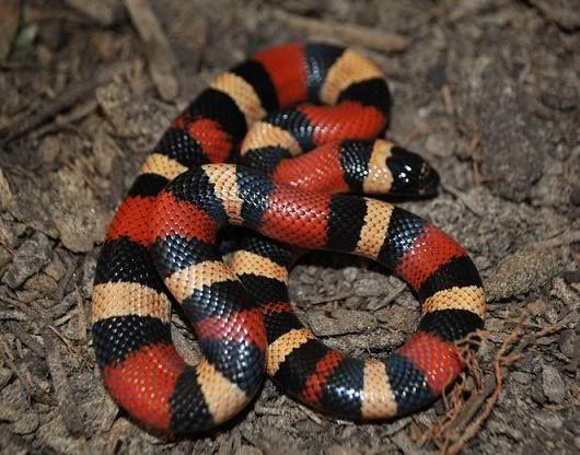 Apicot Pueblan Milk Snake | Species and Morphs Featured in