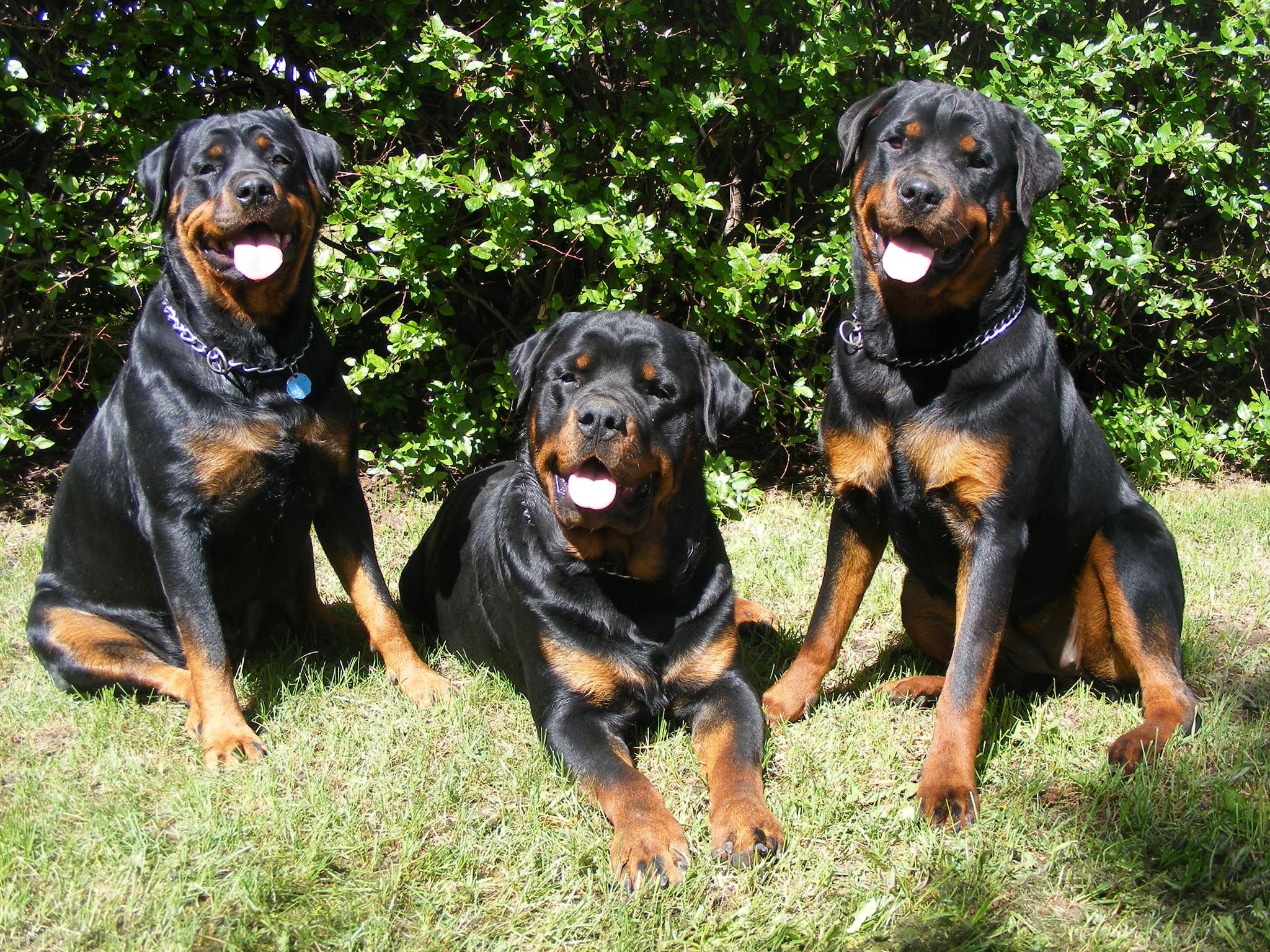 The Rottweiler Is Muscular And Massive Dog Breed Which Can Be A Daunting Beast Or Calm Canine Depending On Its P Rottweiler Dog Rottweiler Rottweiler Pictures