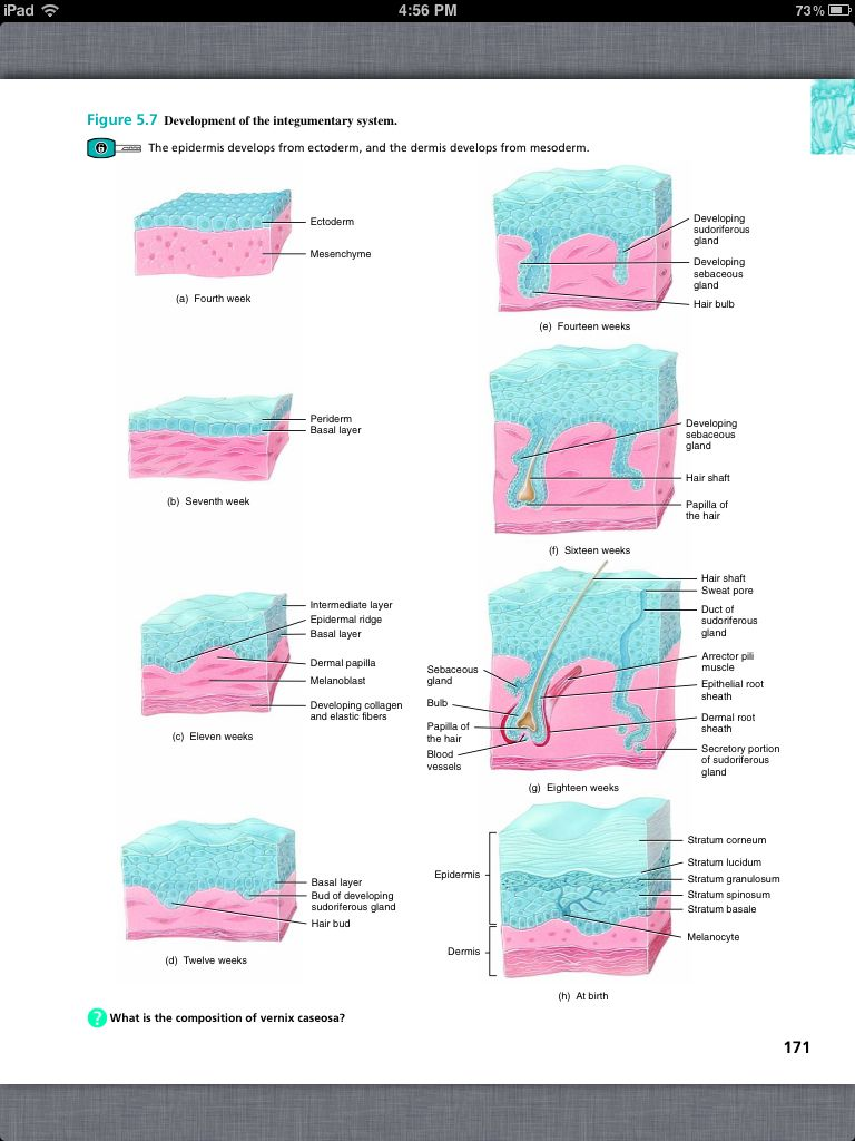 Principles of Anatomy and Physiology, Chapter 5, The Integumentary ...