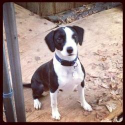 Buster: Labrador Retriever, Dog; Burlington, NC