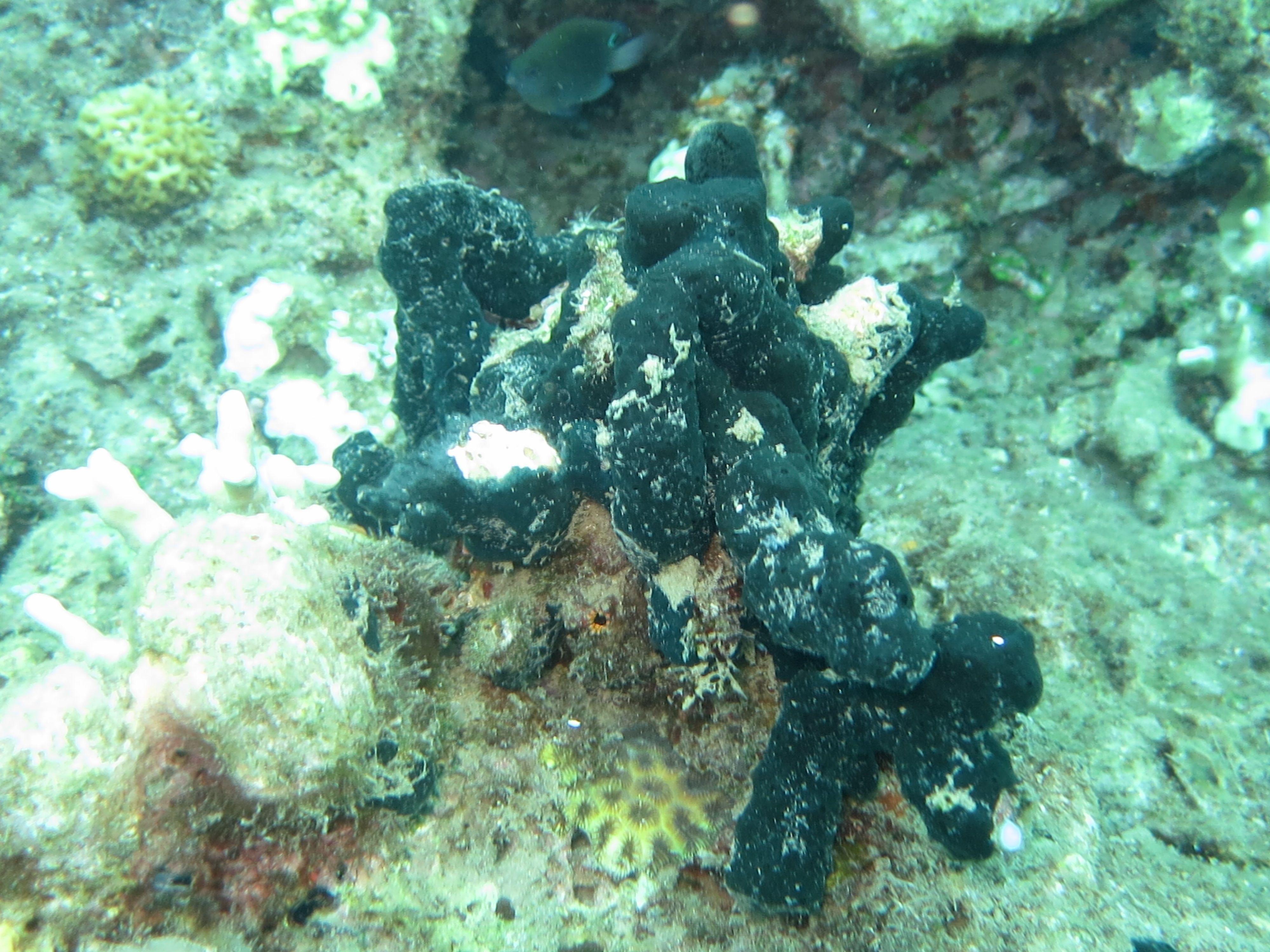Liosina paradoxa marine sponges pinterest reviewsmspy