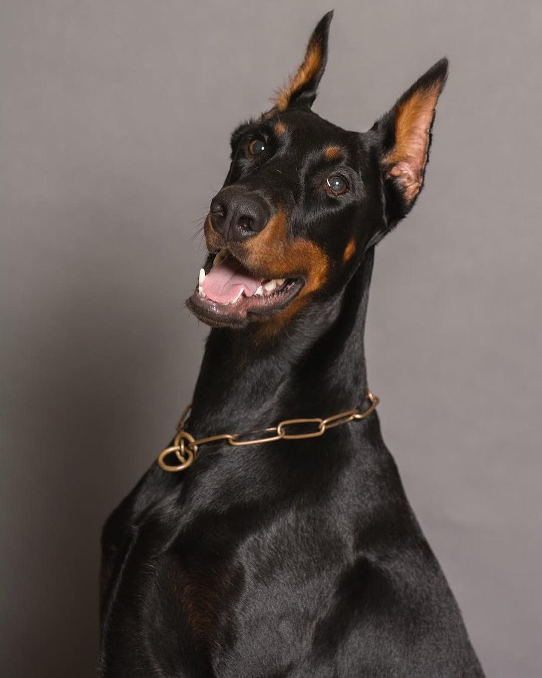 Happy Doggo Dog Doberman Happydog Doberman Pinscher Doberman