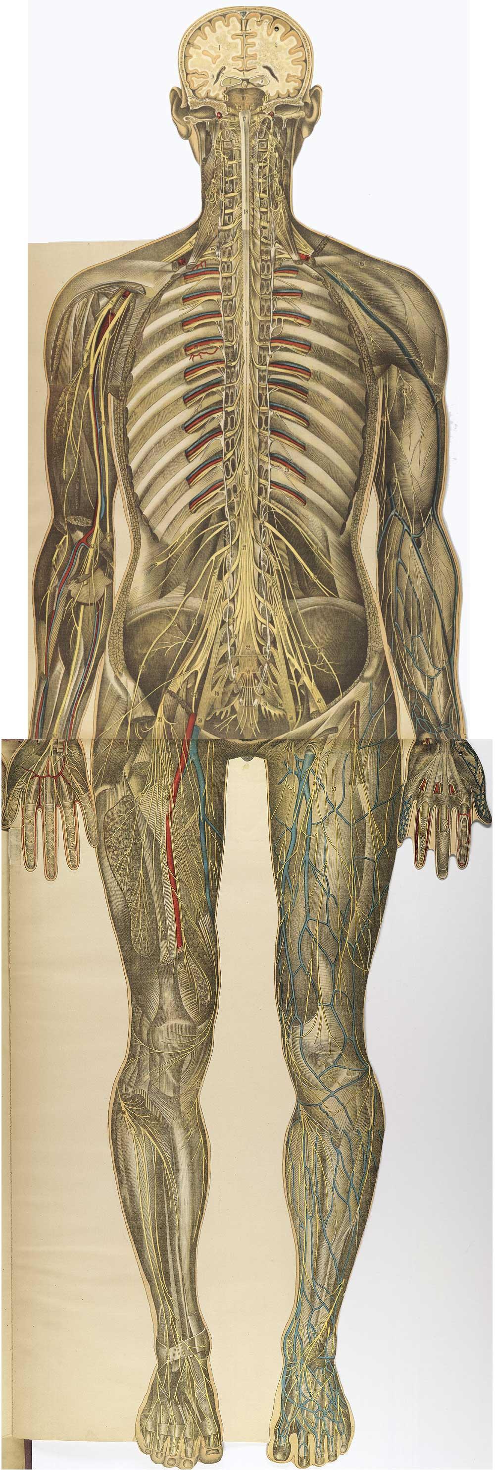 bougle | Homo sapiens | Pinterest | Ilustracion cientifica, Anatomía ...