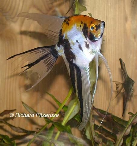 Angel Fish Types Koi Gold Marble Blushing Same Colors