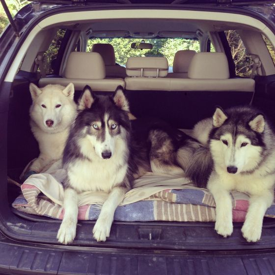 Cammi Niko And Acadia Three Huskies In The Back Of A Subaru Outback Subaru Outback Husky Animals