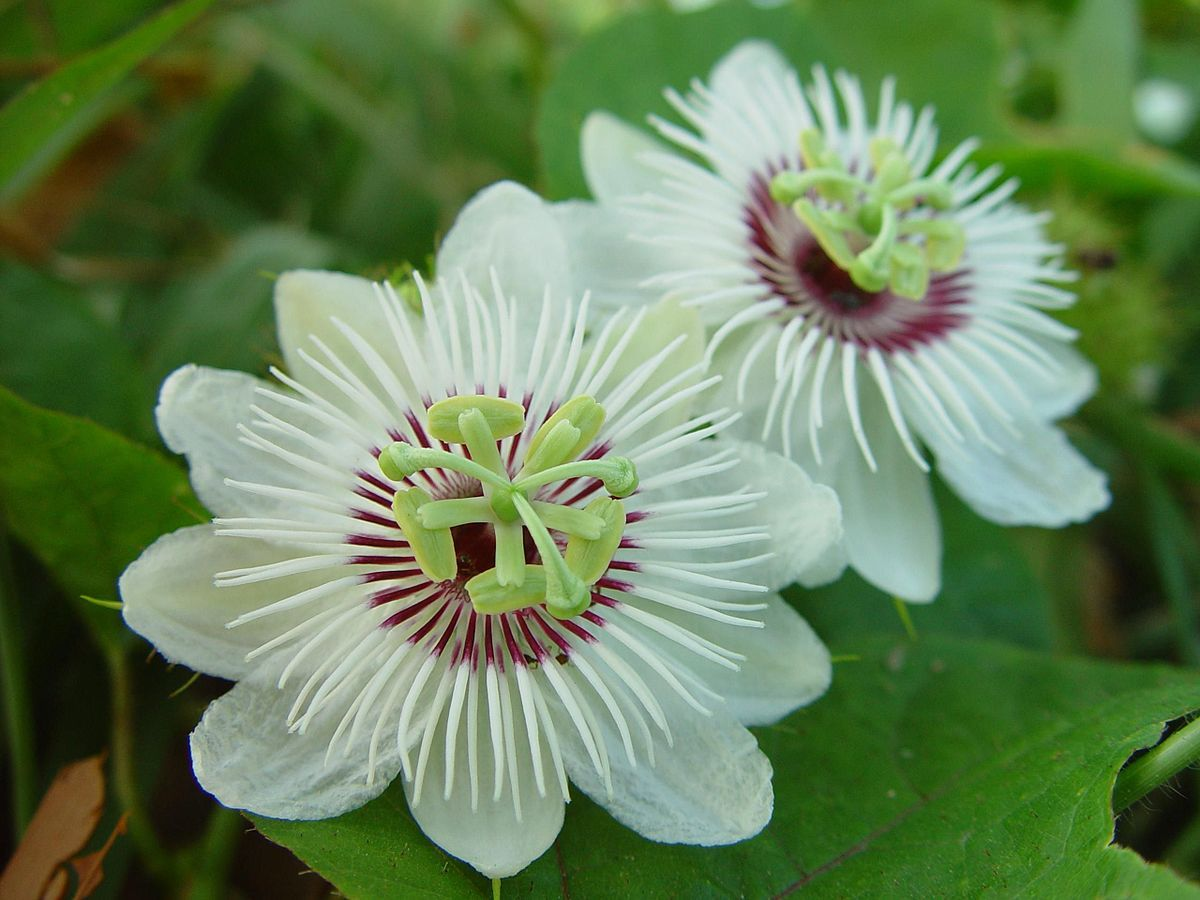 Passiflora Foetida Has Yellow Edible Fruits In 2020 Passion Flower Passiflora Types Of White Flowers