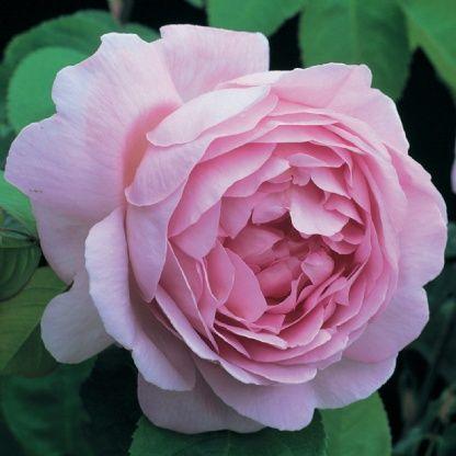 Constance Spry - David Austin Roses