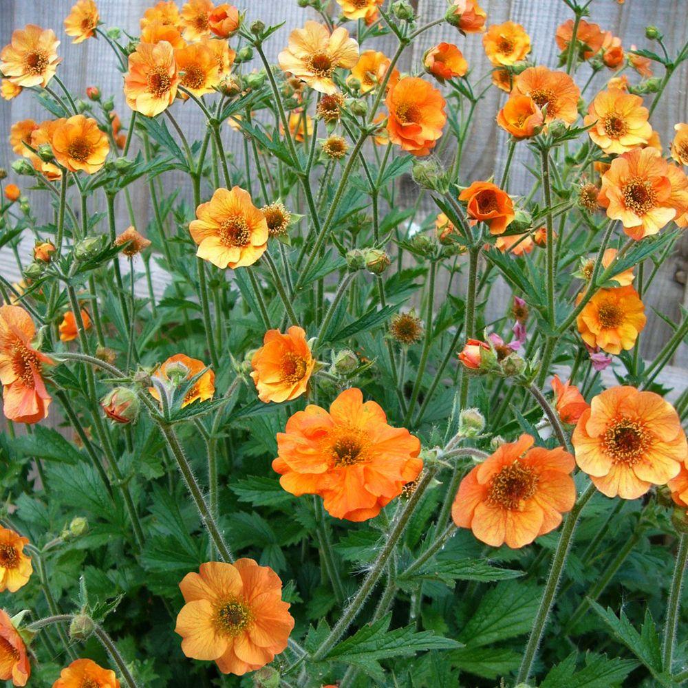 Geum 'Totally Tangerine' (Large Plant) Perennial