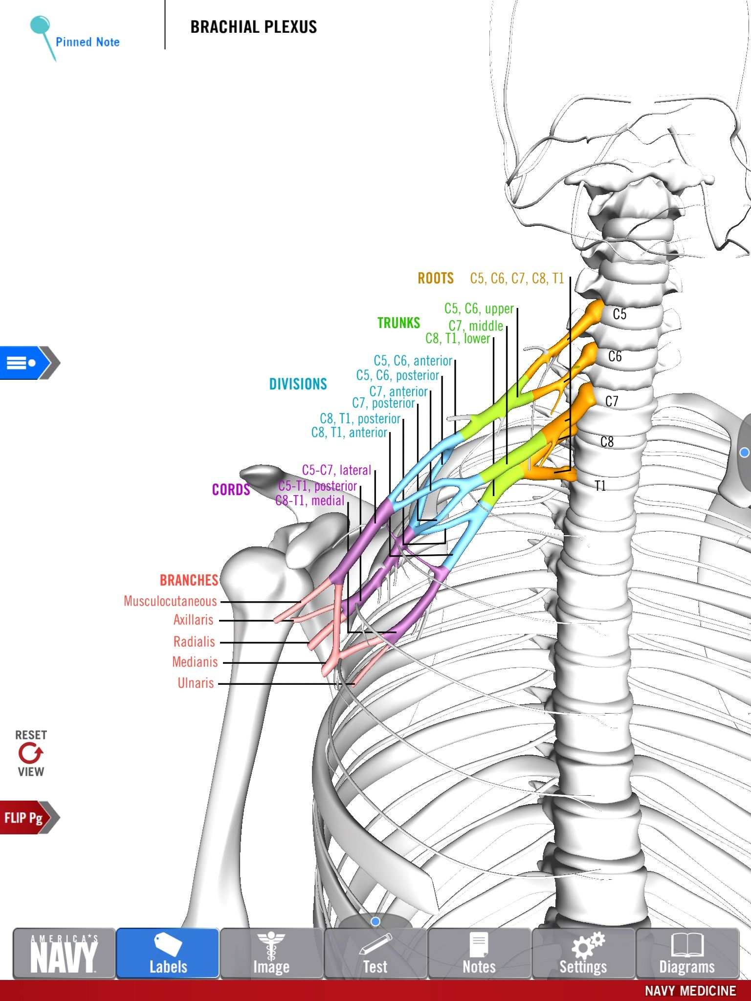 Diagram of the Brachial Plexus from the free Anatomy Study Guide app ...