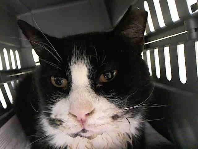 C3PO - A1043410 - - Staten Island   ***TO BE DESTROYED 07/13/15*** POOR SENIOR C3PO IS A FELV+ KITTY WHOSE OWNER DUMPED IN THE ACC DUE TO COST!! NOW THIS POOR GUY WILL BE KILLED BECAUSE OF IT! C3PO's owner brought her 10 year old cat to the ACC because she said she could no longer afford his care. This is sad because the ACC has PROGRAMS TO HELP PEOPLE but they don't seem to use them when needed!! C3PO is very unhappy in the shelter and since he has FELV, the AC