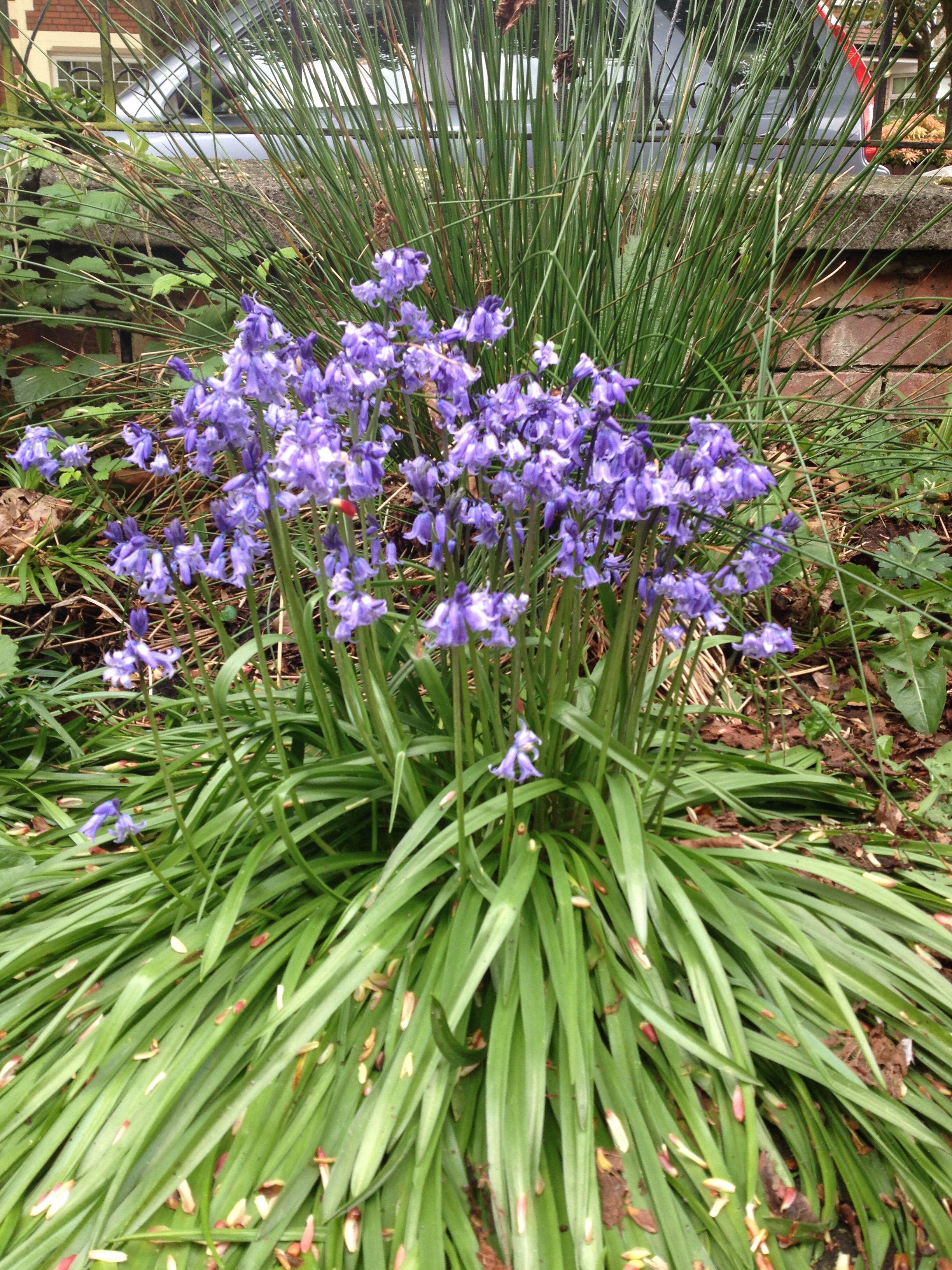 Belfast Bluebells at Ada's Garden