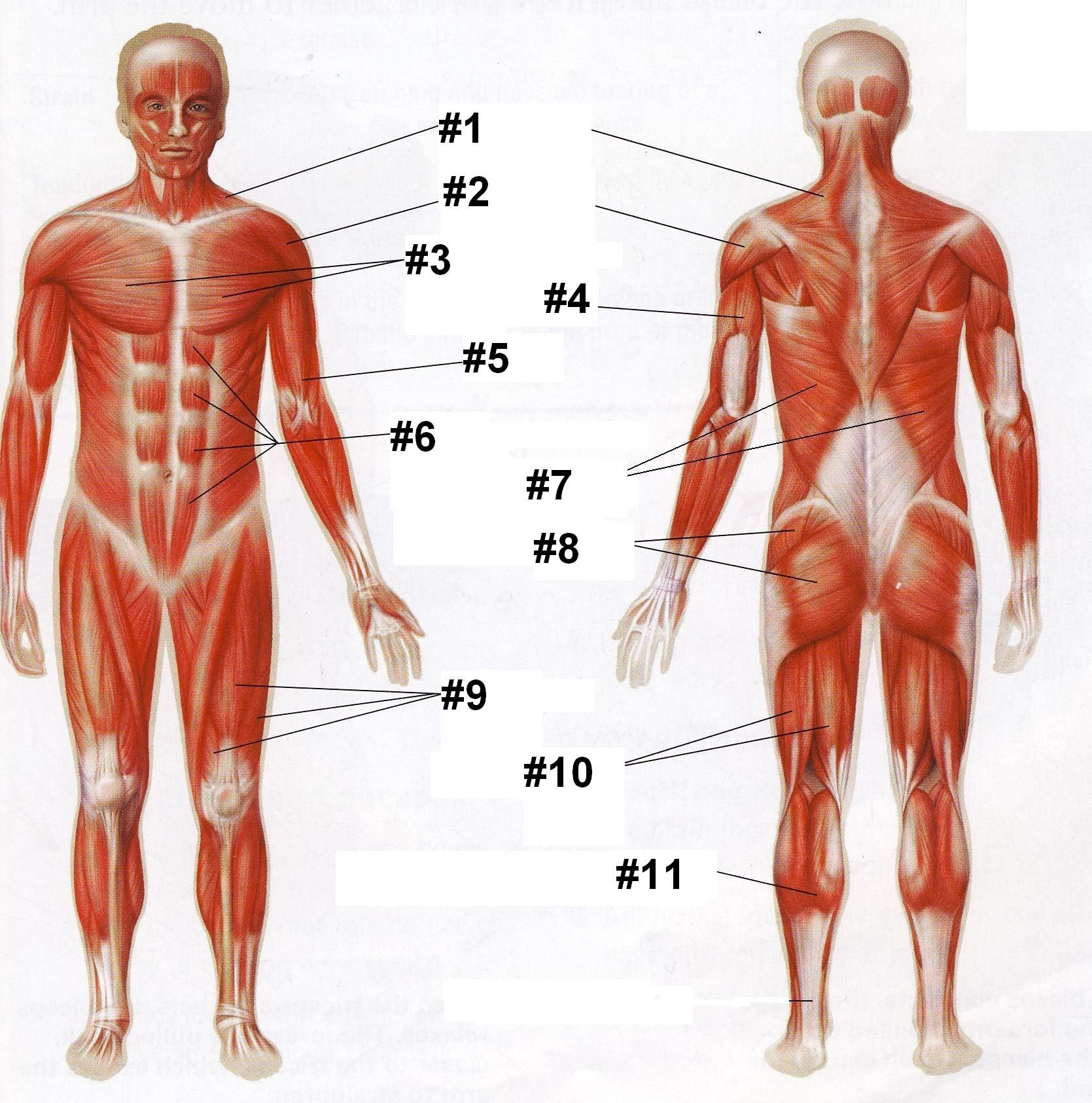 Human Body Muscle Quiz