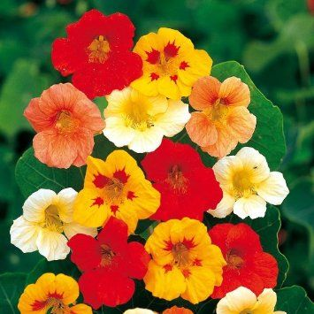 Kapuzinerkresse Rankende Mischung Kapuzinerkresse Blumen Pflanzen Und Tom Garten