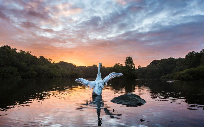 A swan enjoys the early morning light at Golden Acre park in Leeds on the first day of astronomical Autumn which happens with the Equinox of September the 22/23.