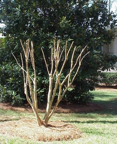Walterreeves Com Gardening Crepe Myrtle Trees Crape Myrtle Garden Shrubs