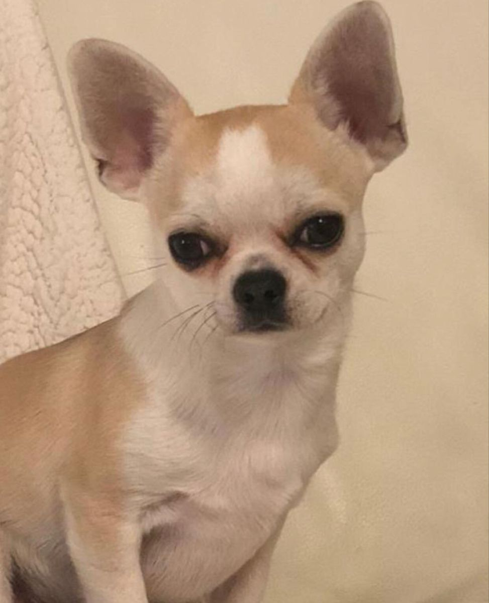 Chihuahua Dog Chiwawa Dog Information Toy Dog Breeds