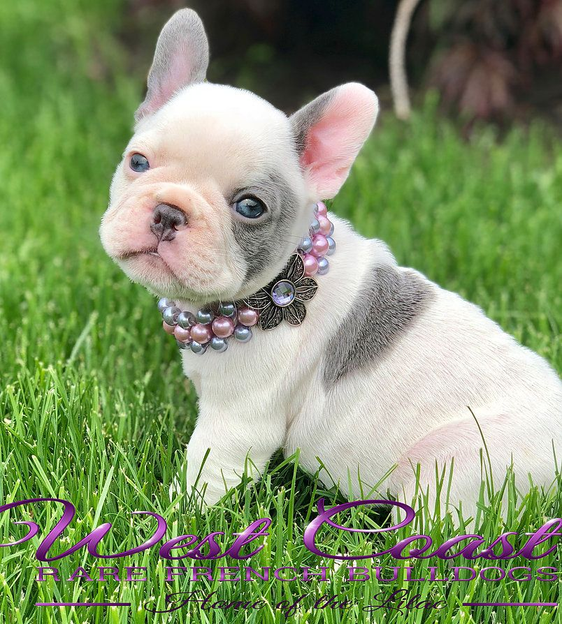 AVAILABLE PUPPIES West Coast Rare Bulldogs Vancouver