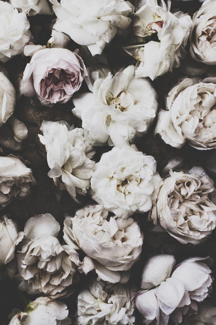Kartinki Po Zaprosu Fond D Ecran Iphone Rose Flowers Floral Bloom