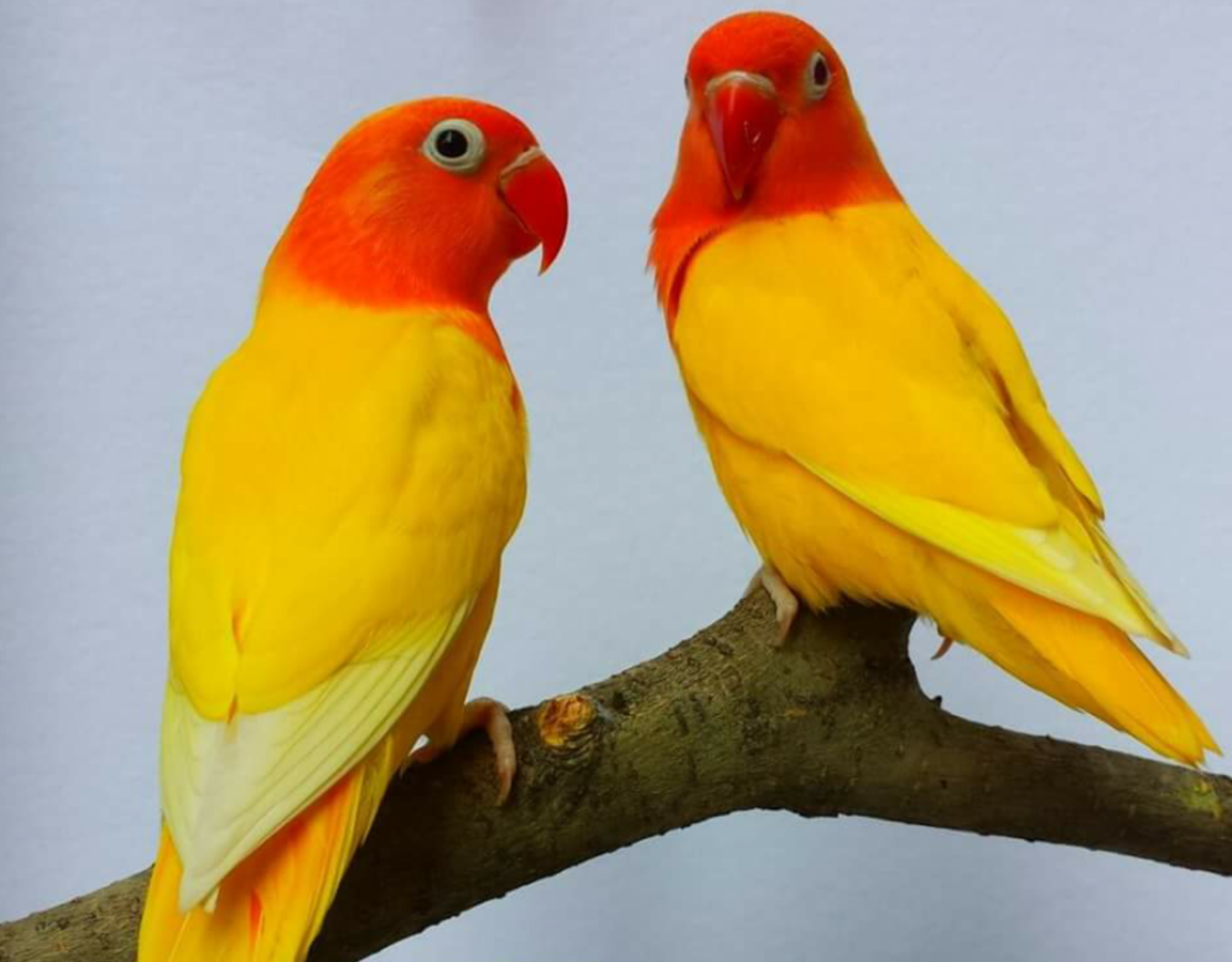 yellow fischer lovebirds in