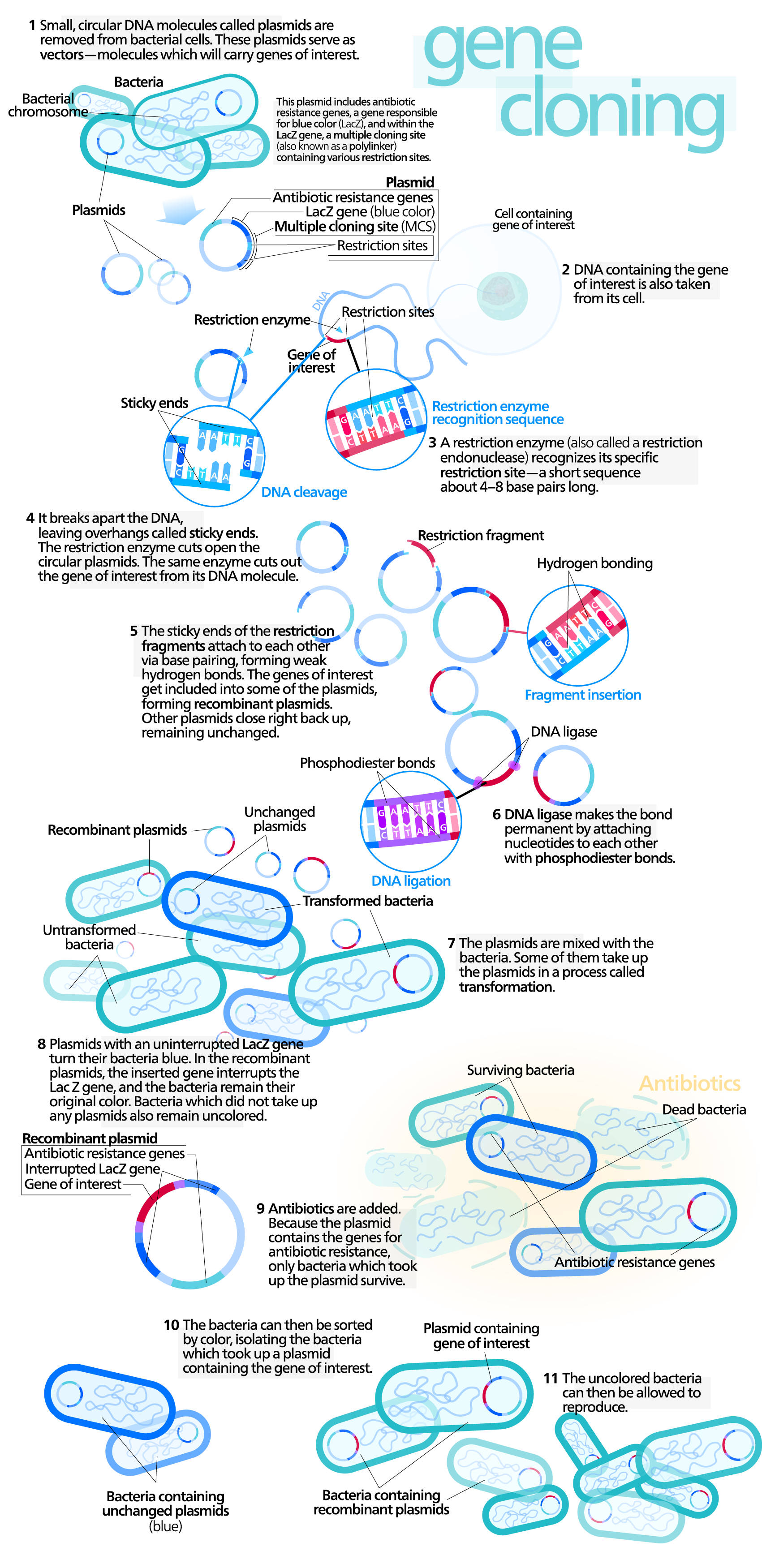 Cloning process diagram science infographics pinterest diagram clone cloning refers to a process that replicates a single dna molecule from a single cell to generate a large population of cells containing identical dna ccuart Image collections