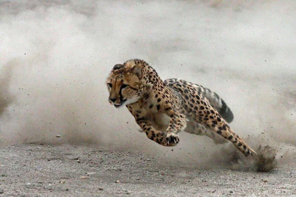 cheetah running full out