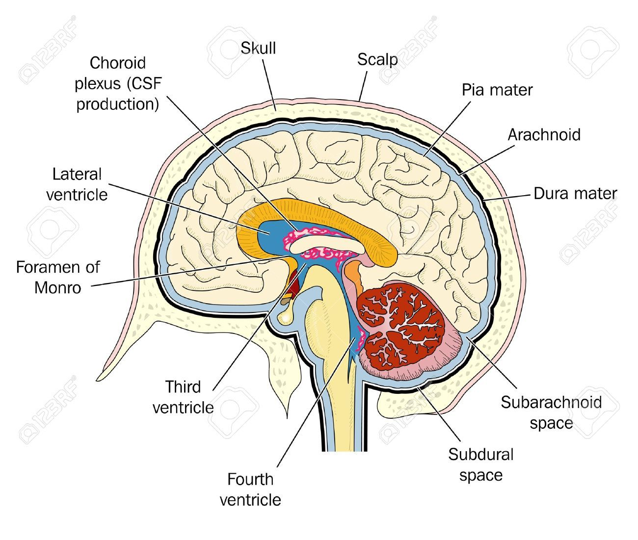 brain cross section diagram cross section of the human brain royalty free cliparts vectors [ 1300 x 1101 Pixel ]