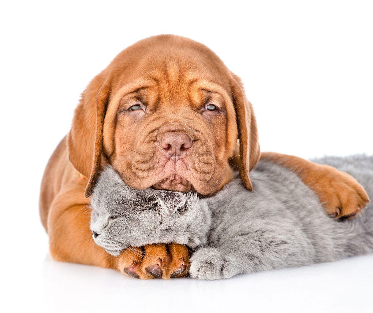 chien chat domestique chiot chatons dogue de bordeaux deux fond blanc 2 animaux mastiffs. Black Bedroom Furniture Sets. Home Design Ideas