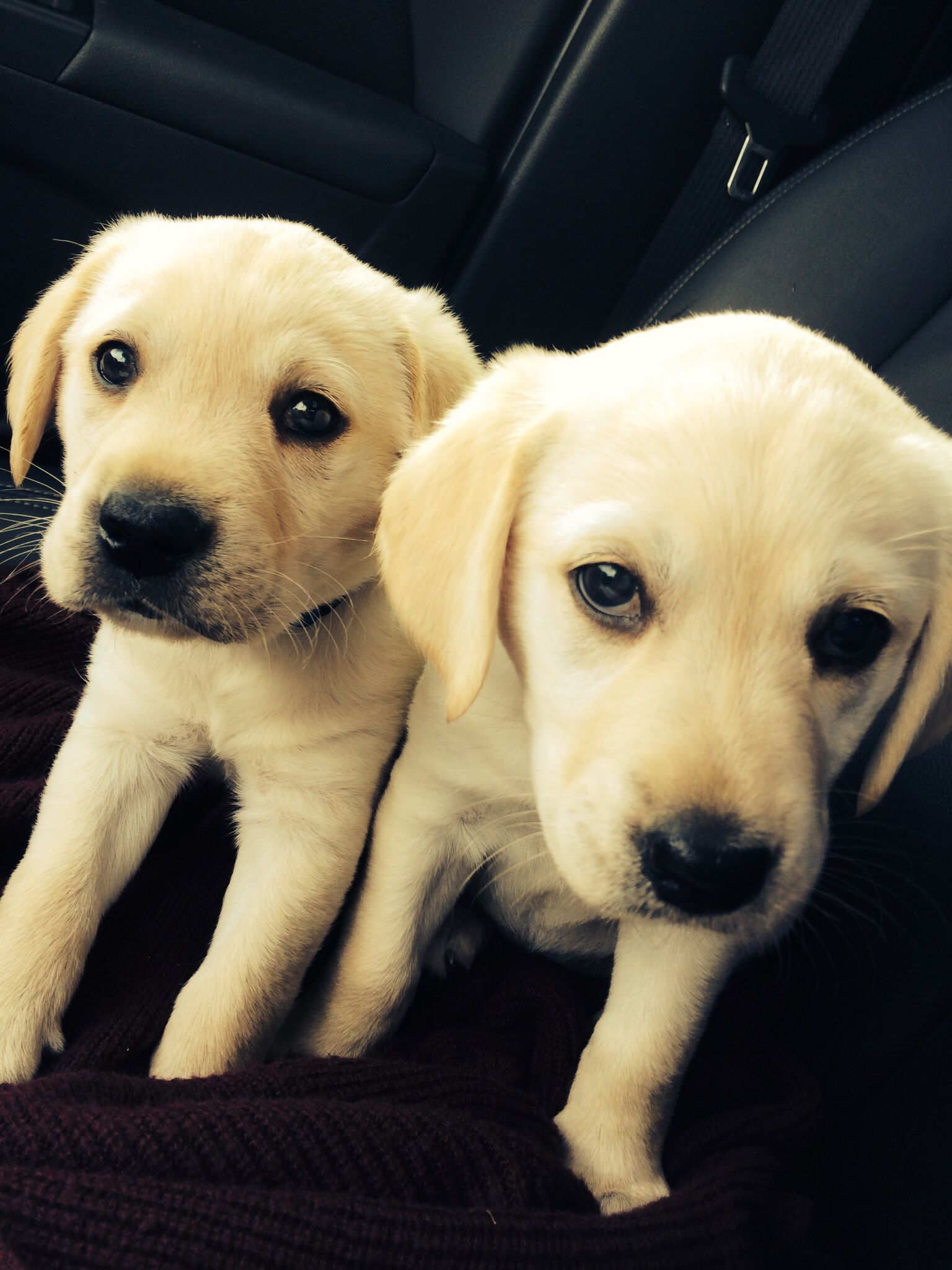Golden Retriever Yellow Lab Mix Female And Male 3 With Images
