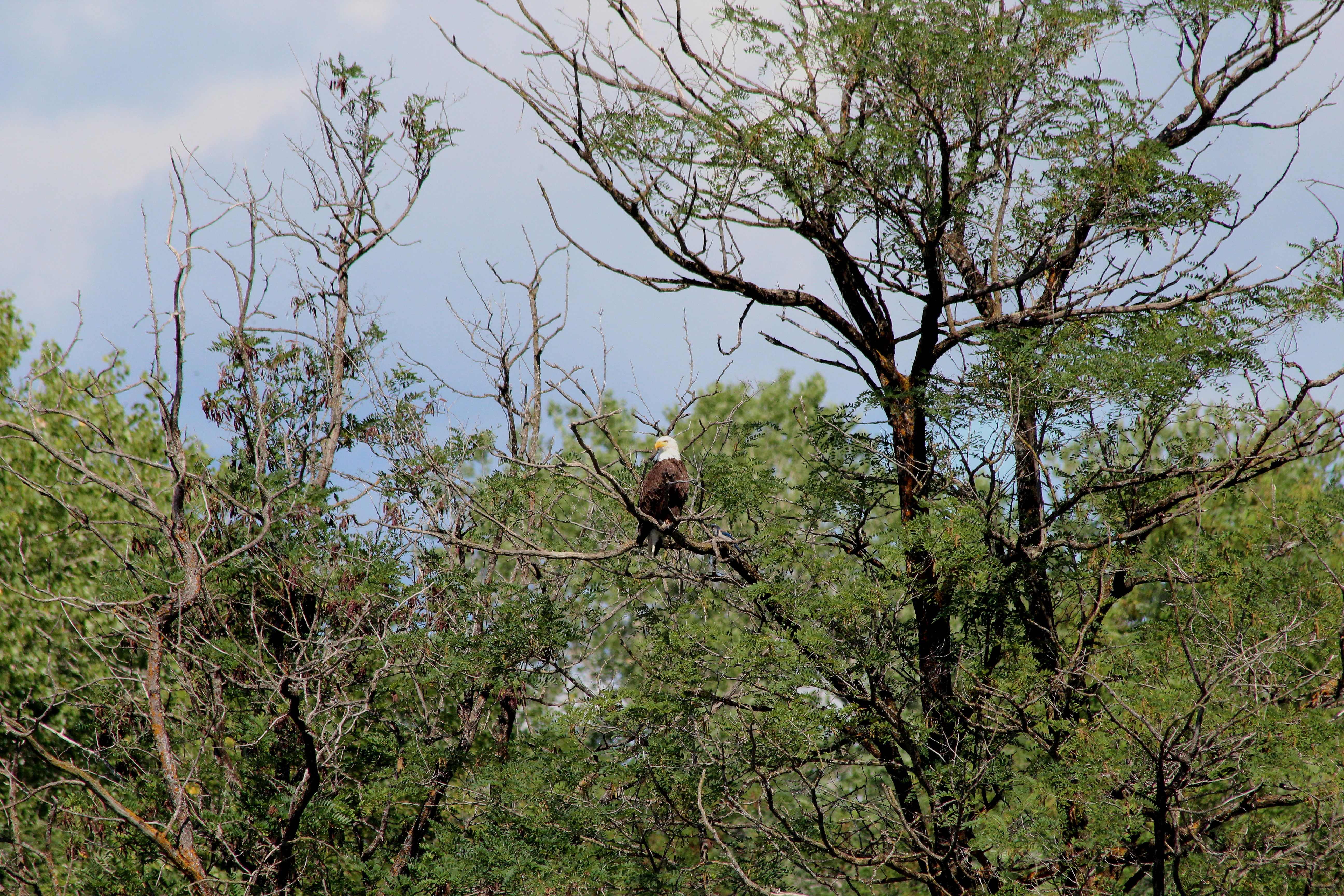 Eagle on libertys island spirit and liberty nest in