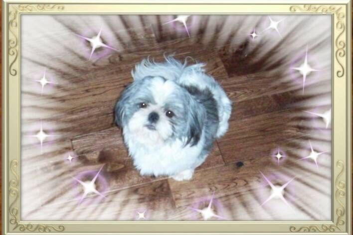 Dolce Is A Blue White Male Akc Registered Small Standard Shih