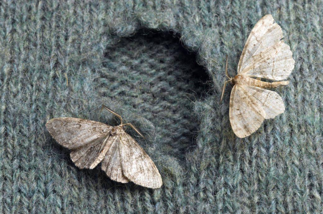 Ein Mottenloch In Den Lieblings Klamotten Ist Argerlich Aber Vermeidbar Mit Diesen Tipps Mache Kleidermotten Motten Im Kleiderschrank Was Hilft Gegen Motten