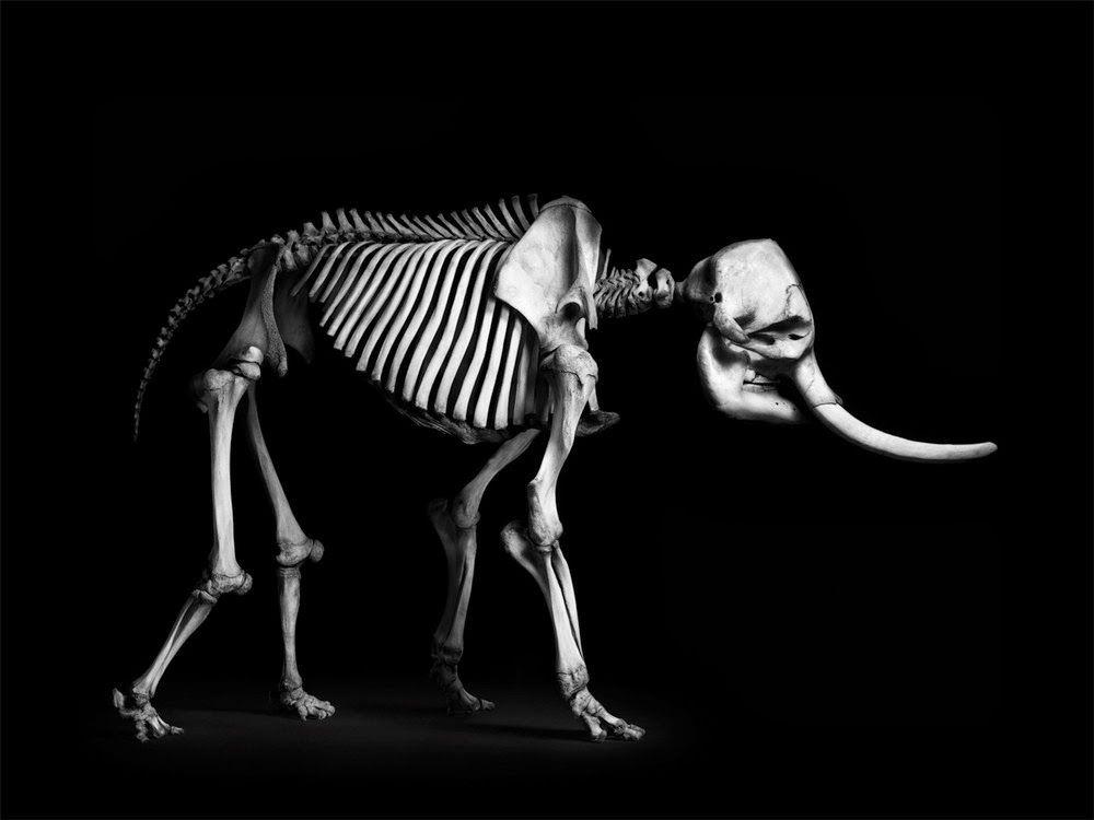 Elefante africano (Loxodonta africana) | Skeletons & Skulls ...