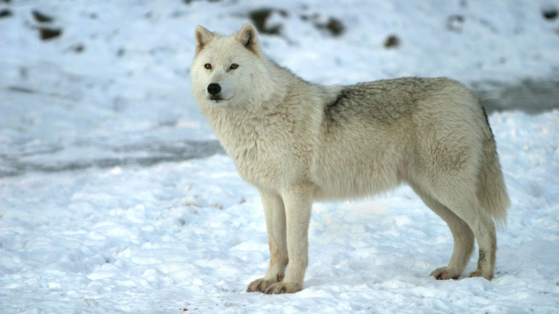 Collection Of Cool Wolf Backgrounds On HDWallpapers 1920x1080 Wolves HD Wallpapers 45