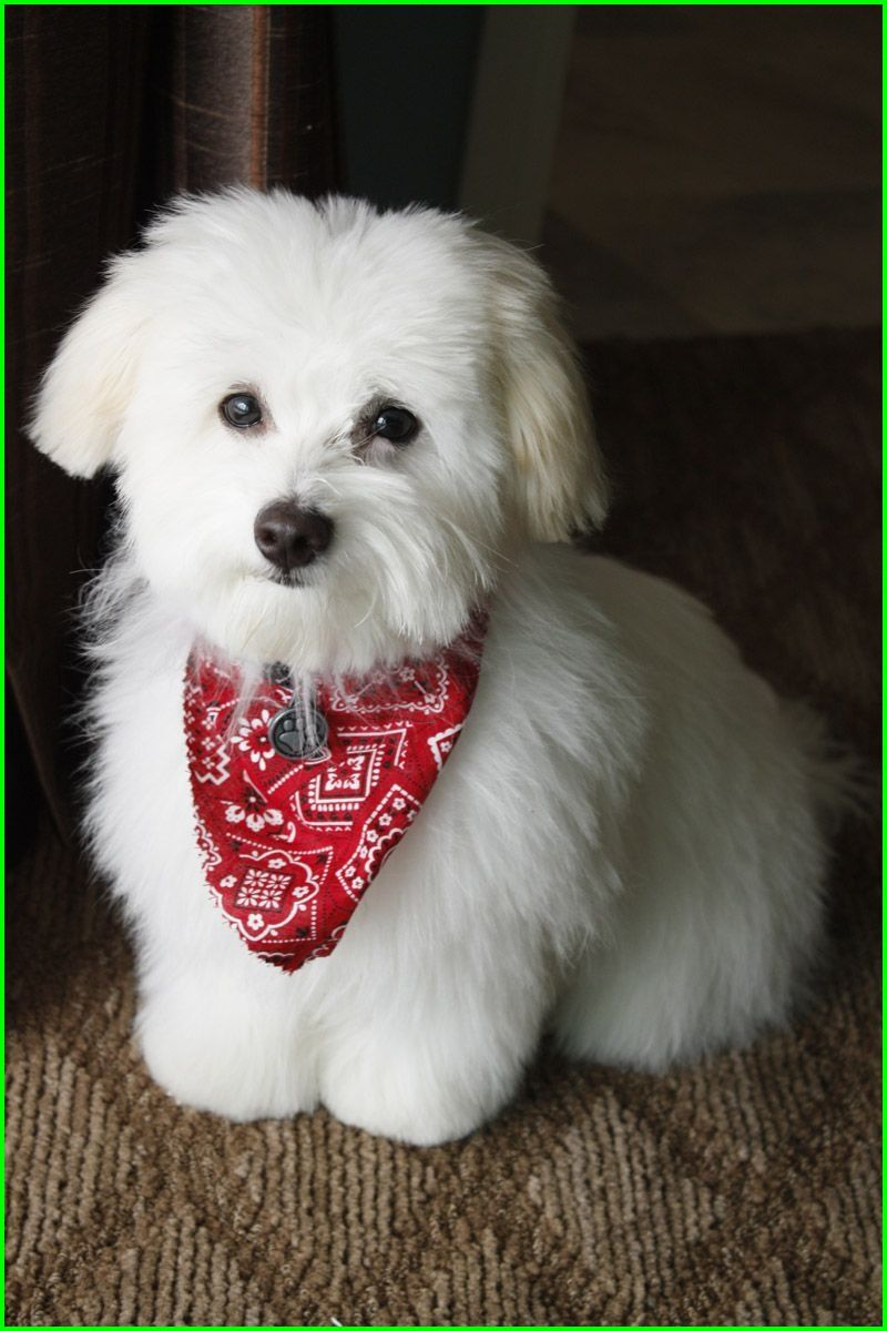 Check Out Our 28 Best Peaches Haircut Images In 2018 308 Best Coton Love Images In 2018 910 Best Coton D In 2020 Havanese Grooming Dog Haircuts Dog Grooming Styles