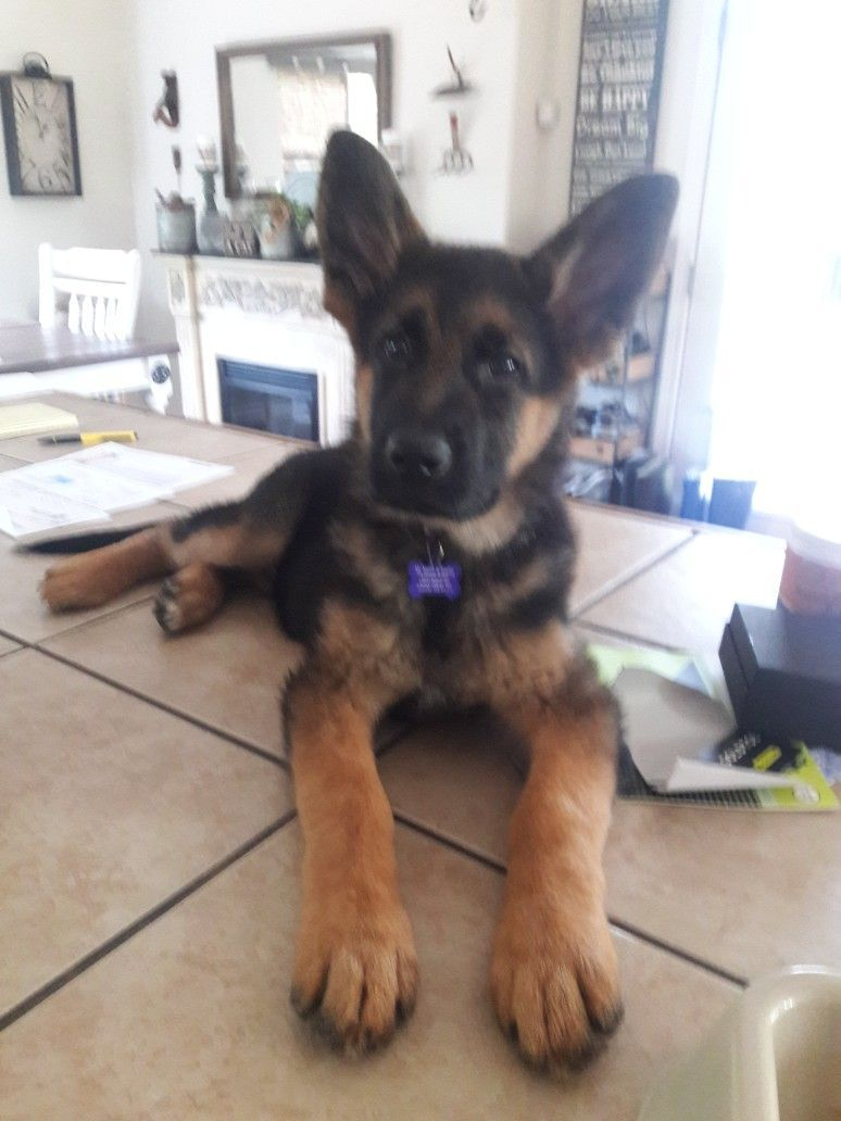 Discover The Secrets Of German Shepherd Click On The Image