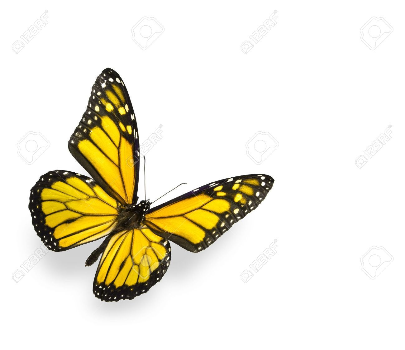 Photo of Bright Yellow Butterfly Isolated on White