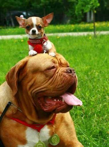 Chihuahua And Mastiff Baby Dogs Chihuahua I Love Dogs
