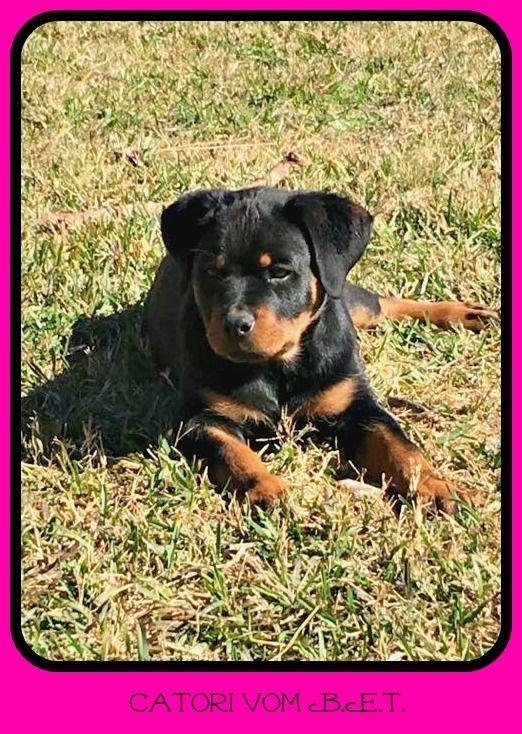 Lost Dog Rottweiler Houston Tx United States Losing A Dog