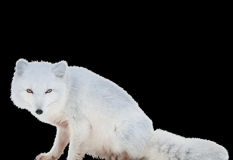 Arctic Fox Png Arctic Fox Canine Family Animals