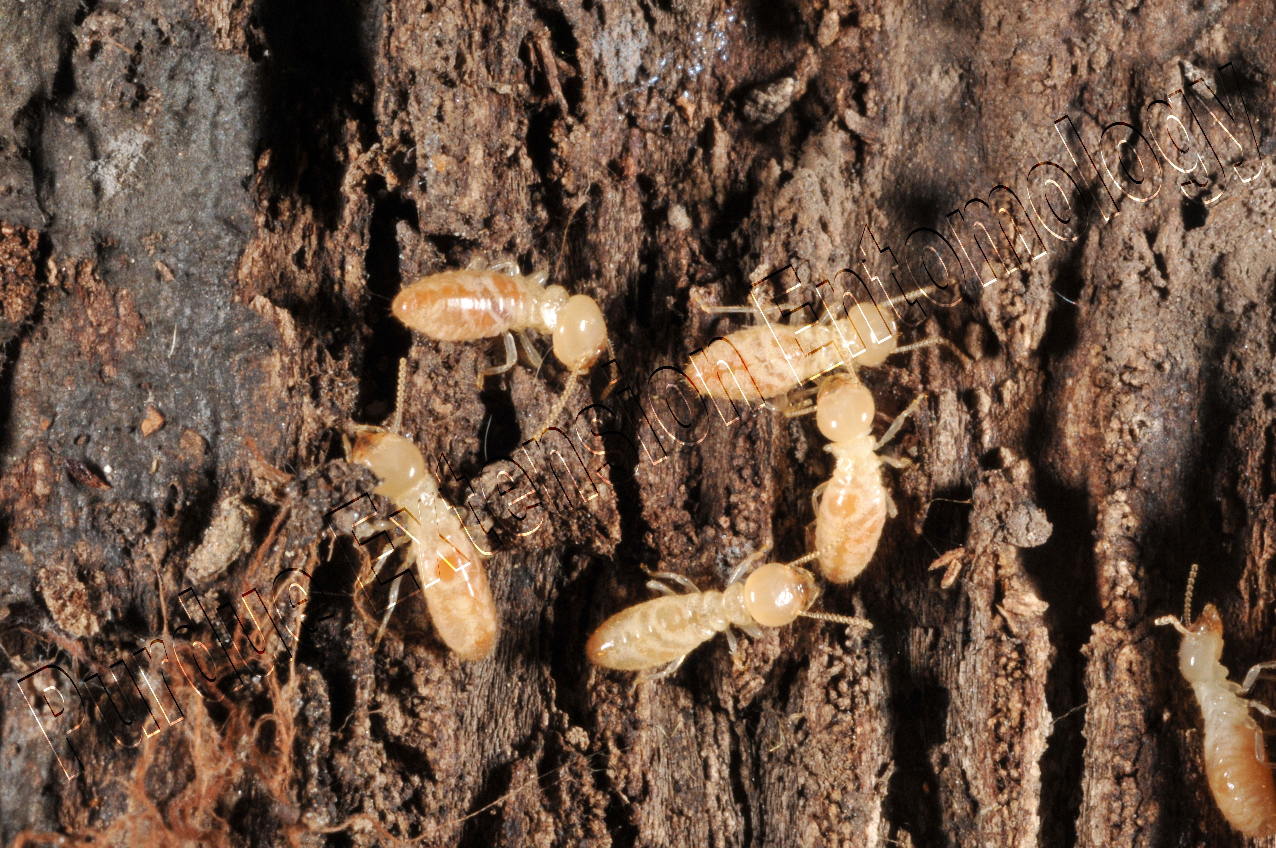 dry wood termites are another species whose colony lives in wood