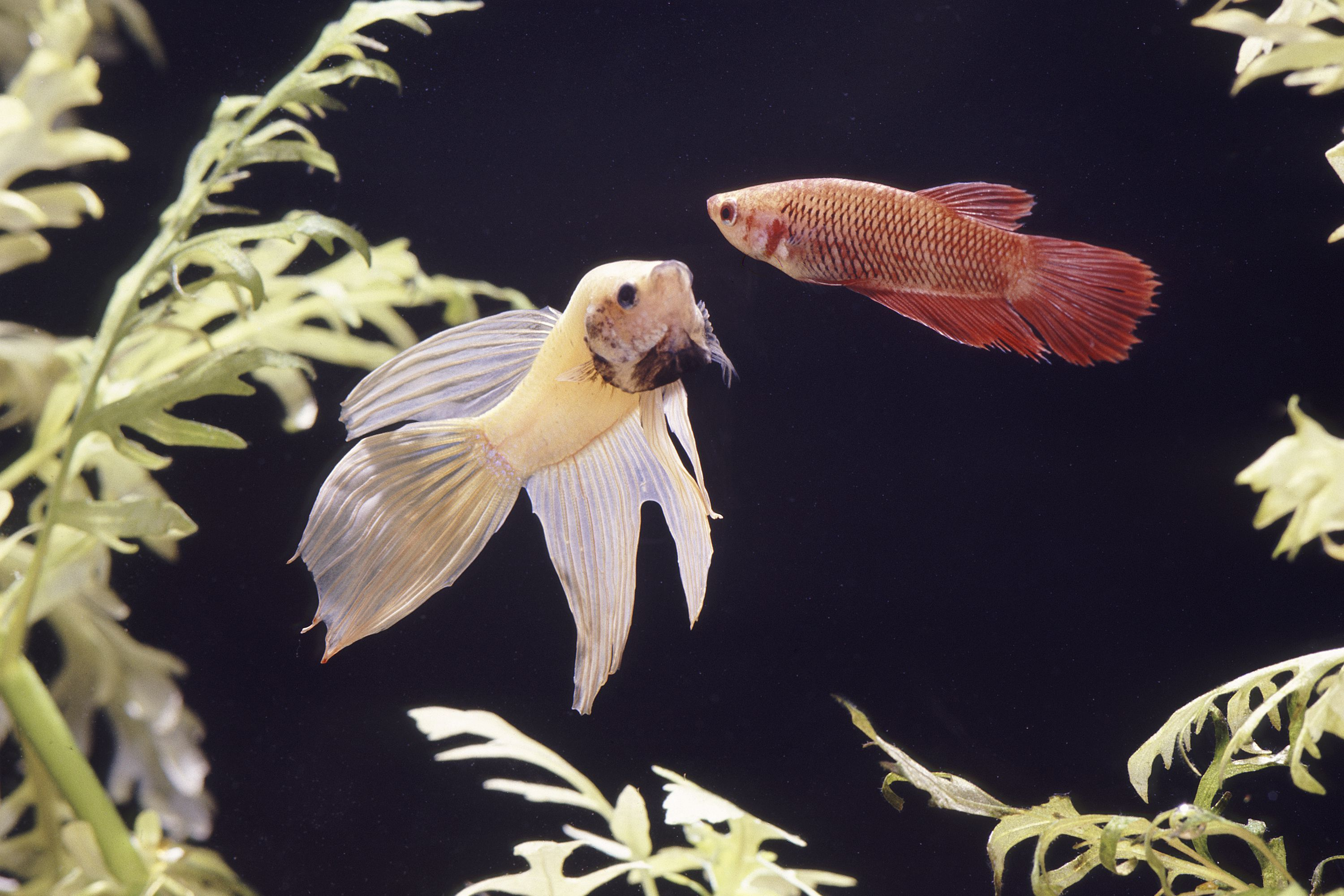 What Aquarium Owners Need to Know about the Fish Disease Fin Rot
