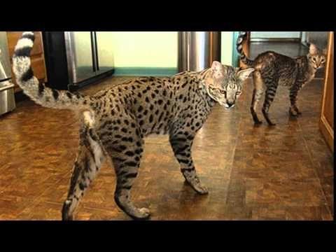 Image Result For Bengal Cat Size Comparison Savannah Cat