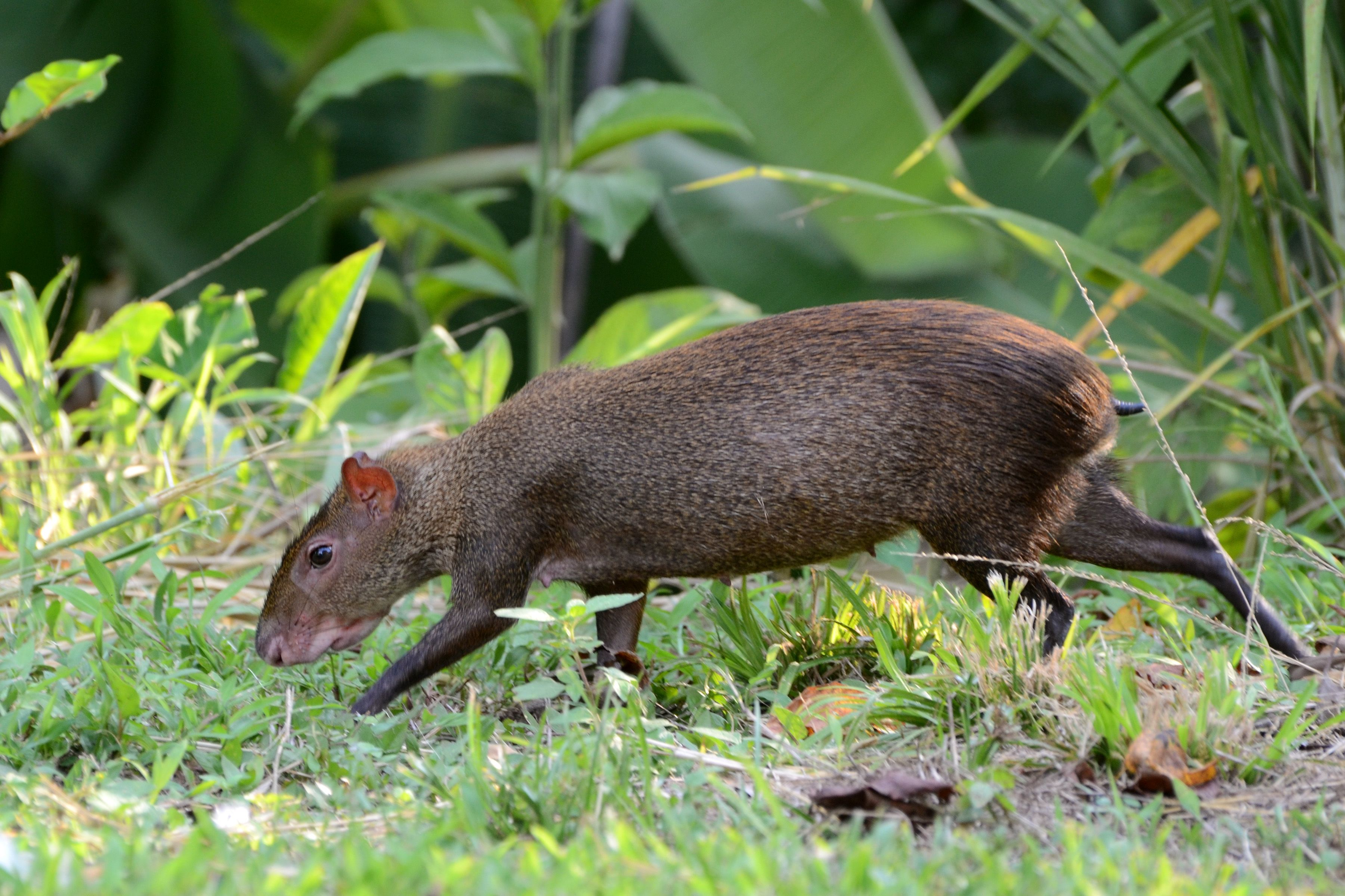 The Sereque. Also known as Agouti. They live in the Yucatan ...