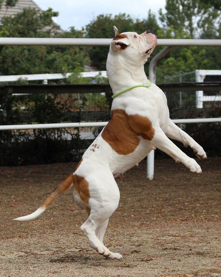 American Bulldog Champion Bybees Bb American Bulldog American