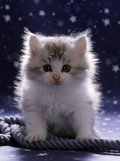 Domestic Cat, 7-Week Fluffy Silver and White Kitten Photographic Print by Jane Burton at AllPosters.com #whitekittens