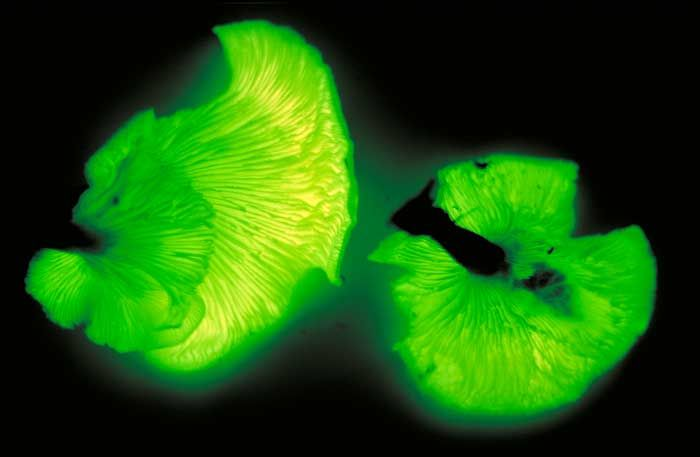 Omphalotus Nidiformis mushroom, Australia.  Glows in the dark because of its luciferin content (a chemical compound that characterizes the firefly)