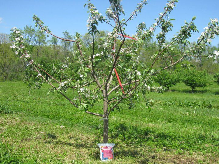 Apple Tree. 3rd year. Great site for info and purchase